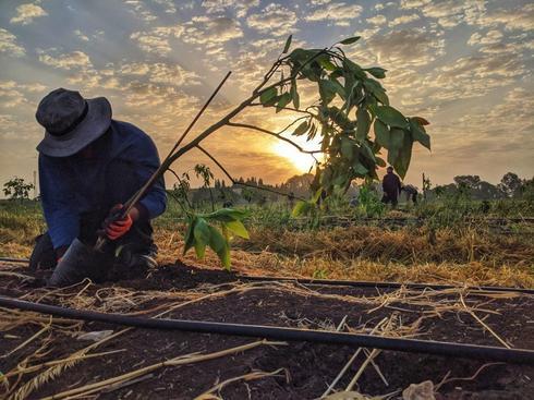 מטעי אבוקדו חדשים של חקלאי גרנות